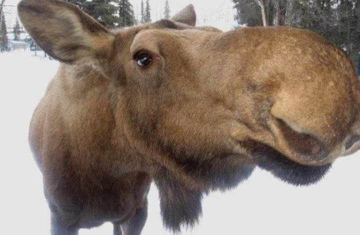 A Moose kind of Monday