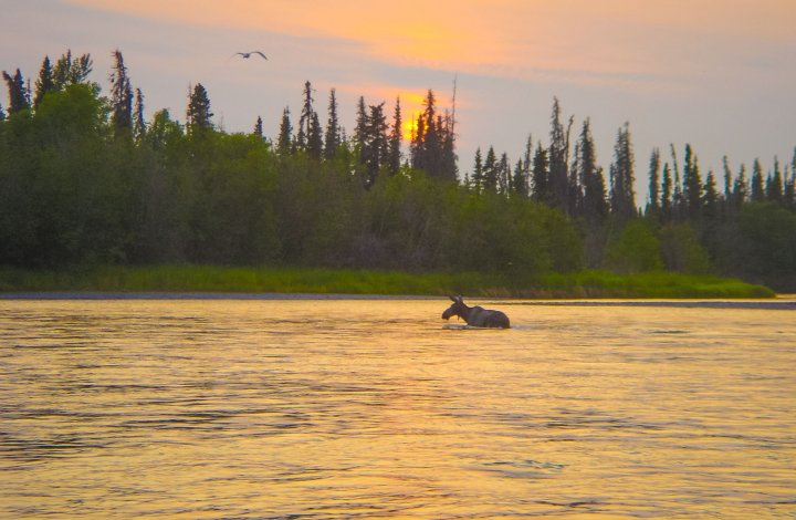 The Kenai's Most Adorable Baby Moose Moments Caught On Video